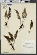 Adenophorus tripinnatifidus image
