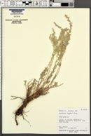 Artemisia bigelovii image