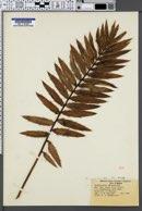 Image of Encephalartos altensteinii