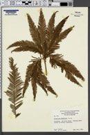 Image of Gleichenia flabellata