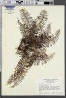 Image of Gleichenia circinnata