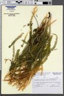 Sticherus pruinosus image