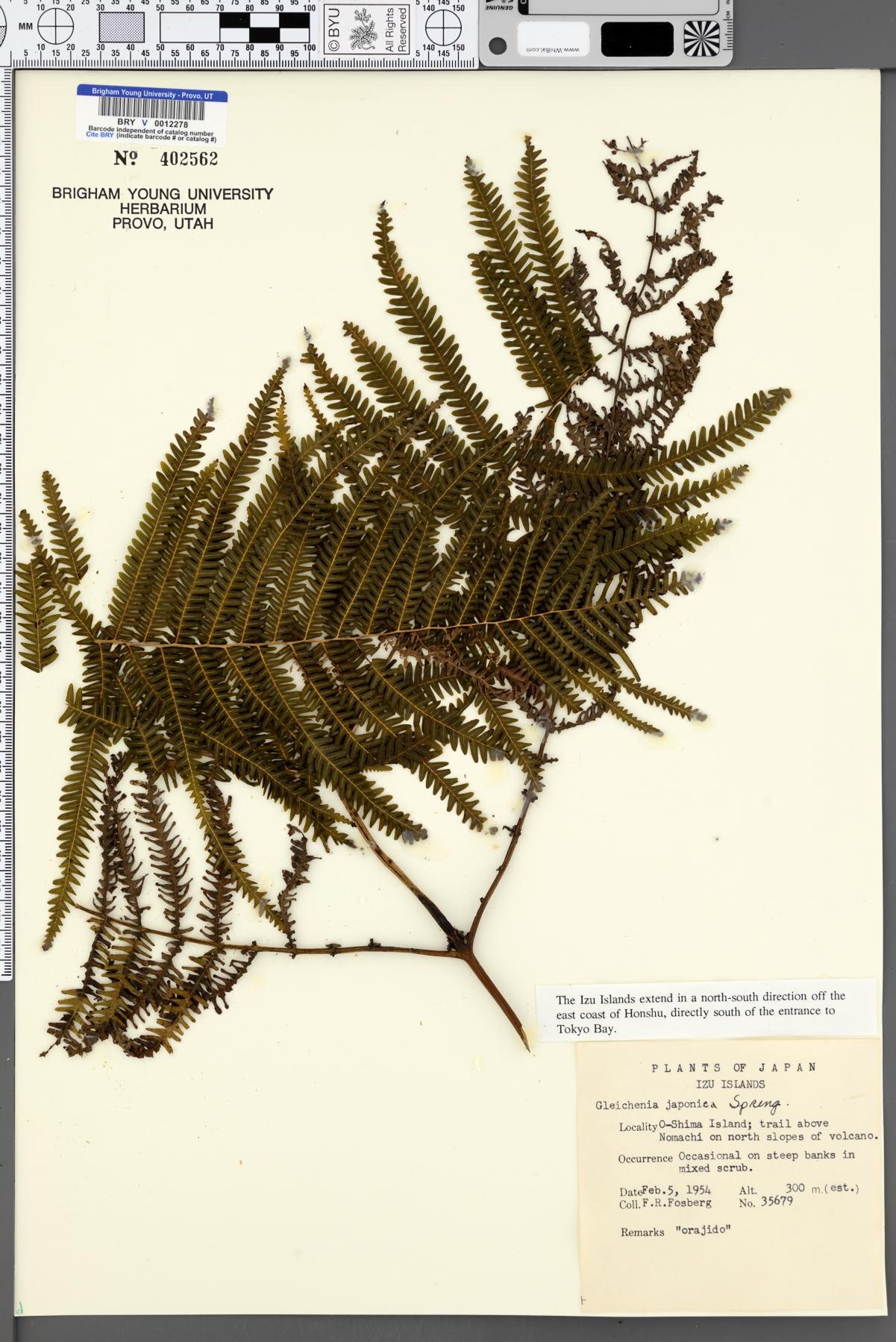 Gleichenia japonica image