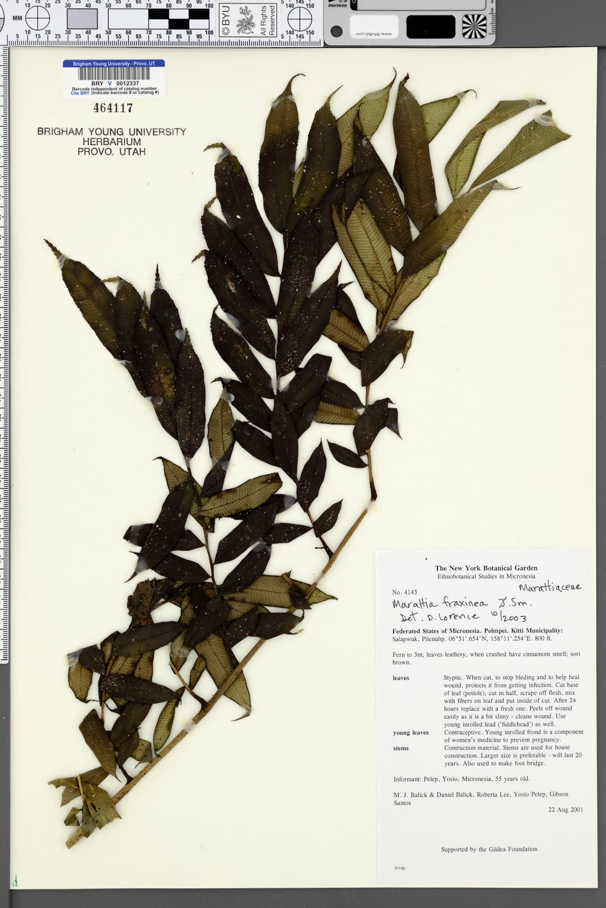 Marattia fraxinea image