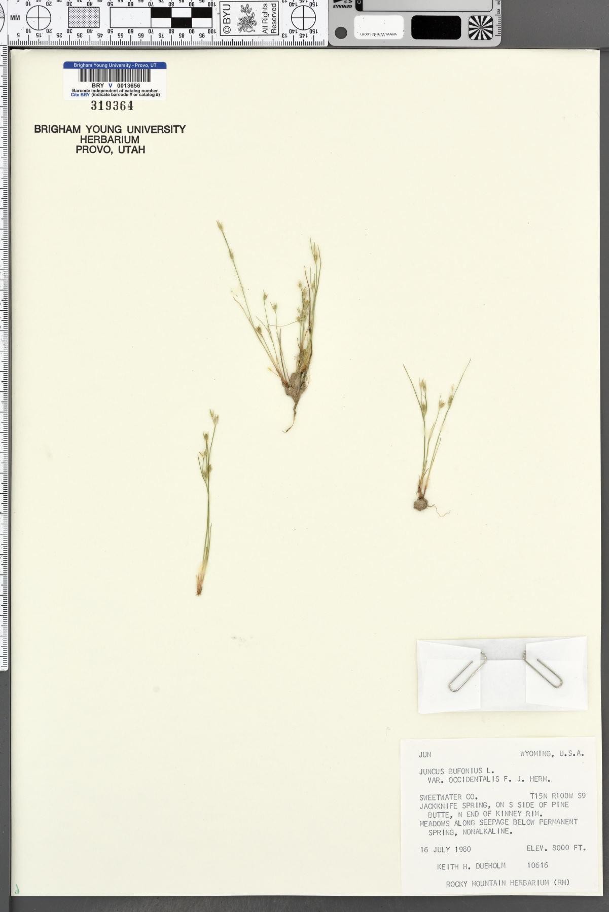 Juncus bufonius var. occidentalis image