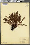 Woodsia alpina image