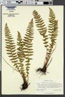Woodsia mollis image