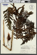 Woodwardia spinulosa image