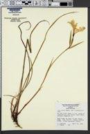Iris tenax image
