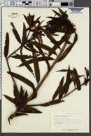 Image of Podocarpus oleifolius