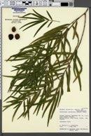 Image of Dacrycarpus imbricatus