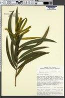 Image of Podocarpus reichei