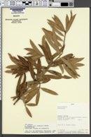 Image of Podocarpus celatus