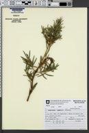 Image of Podocarpus lambertii