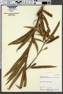 Image of Podocarpus neriifolius