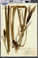 Iris savannarum image