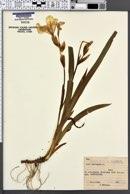 Iris variegata image