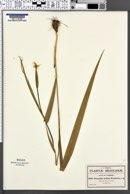 Image of Nemastylis latifolia