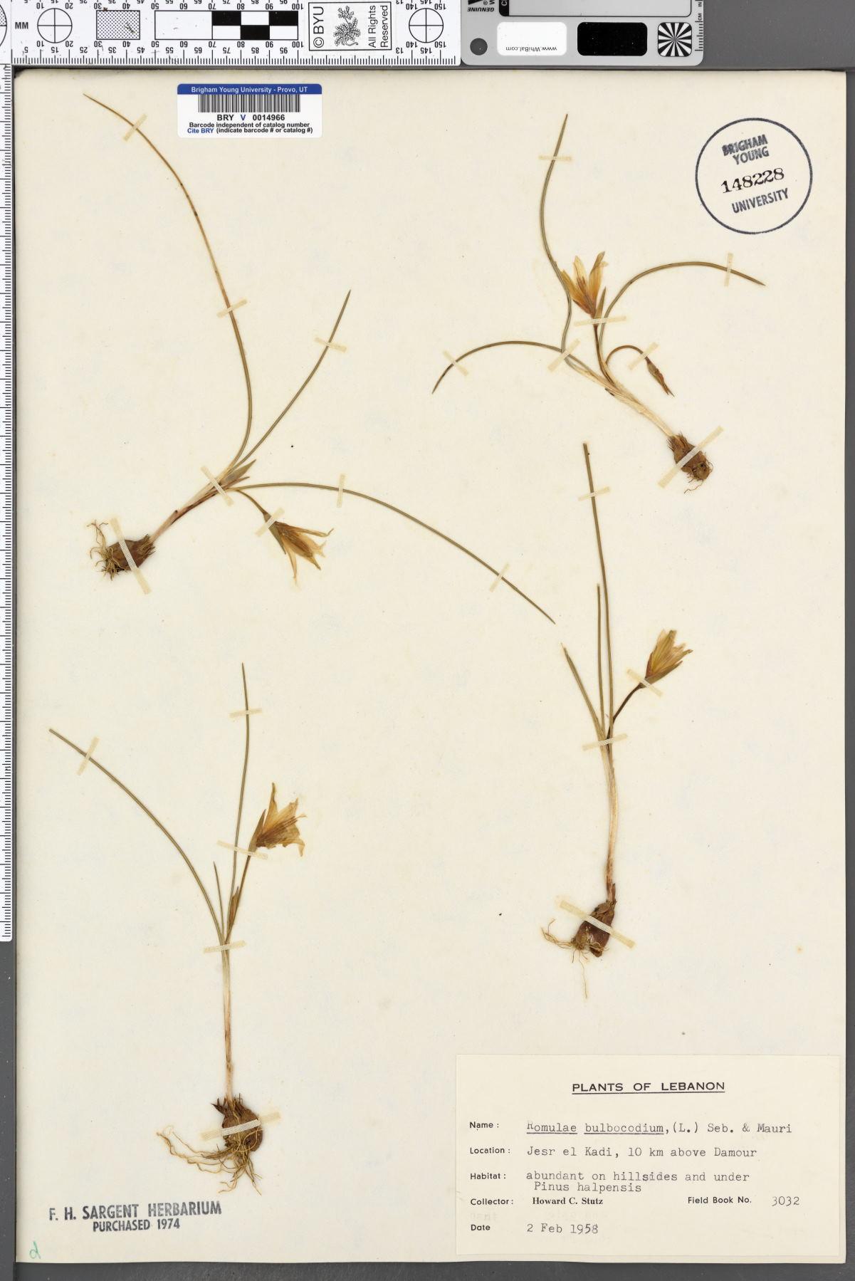 Romulea bulbocodium image