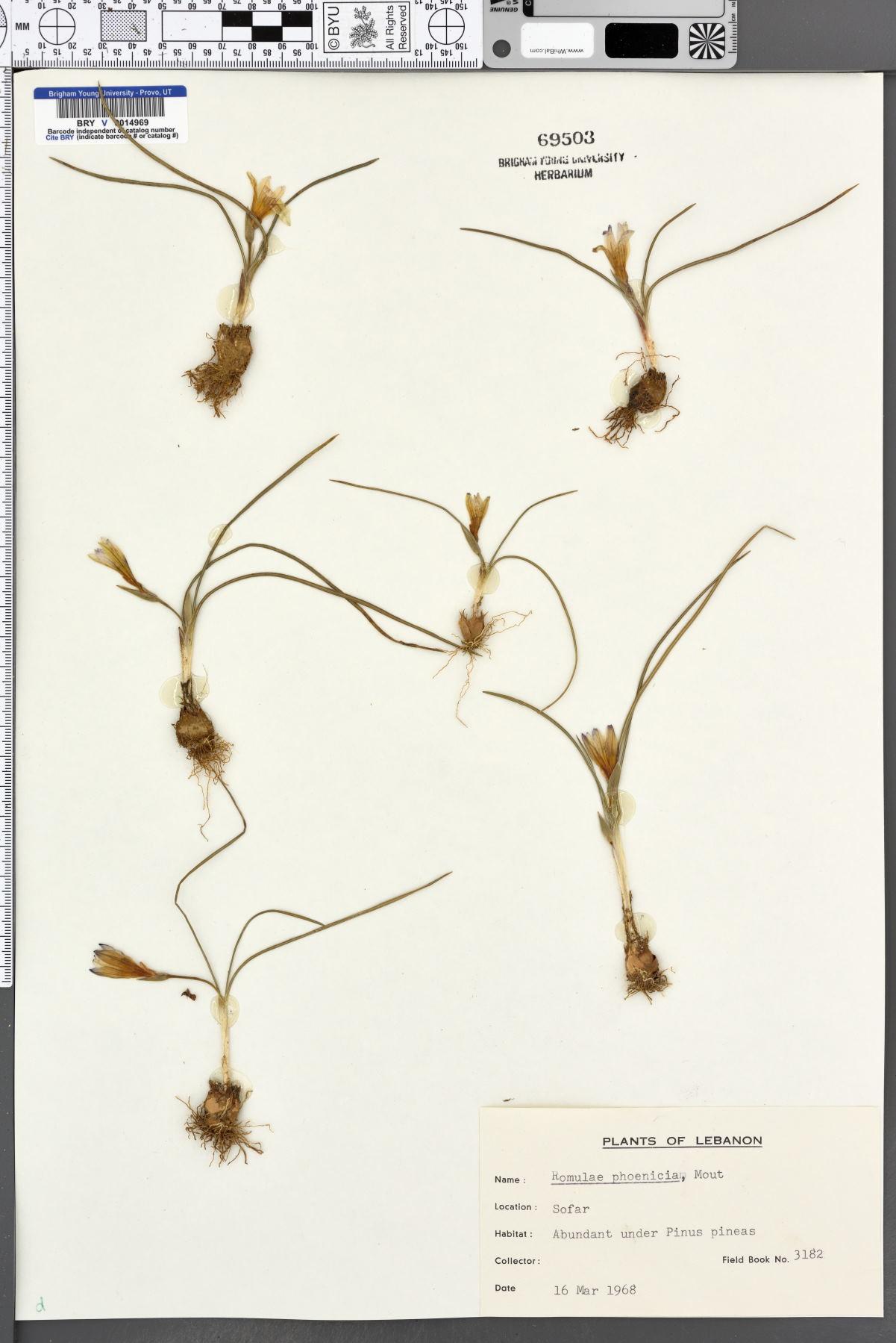 Romulea phoenicia image