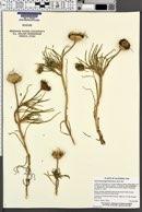 Image of Conicosia pugioniformis