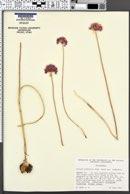 Allium sanbornii var. sanbornii image