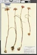Allium sanbornii var. jepsonii image