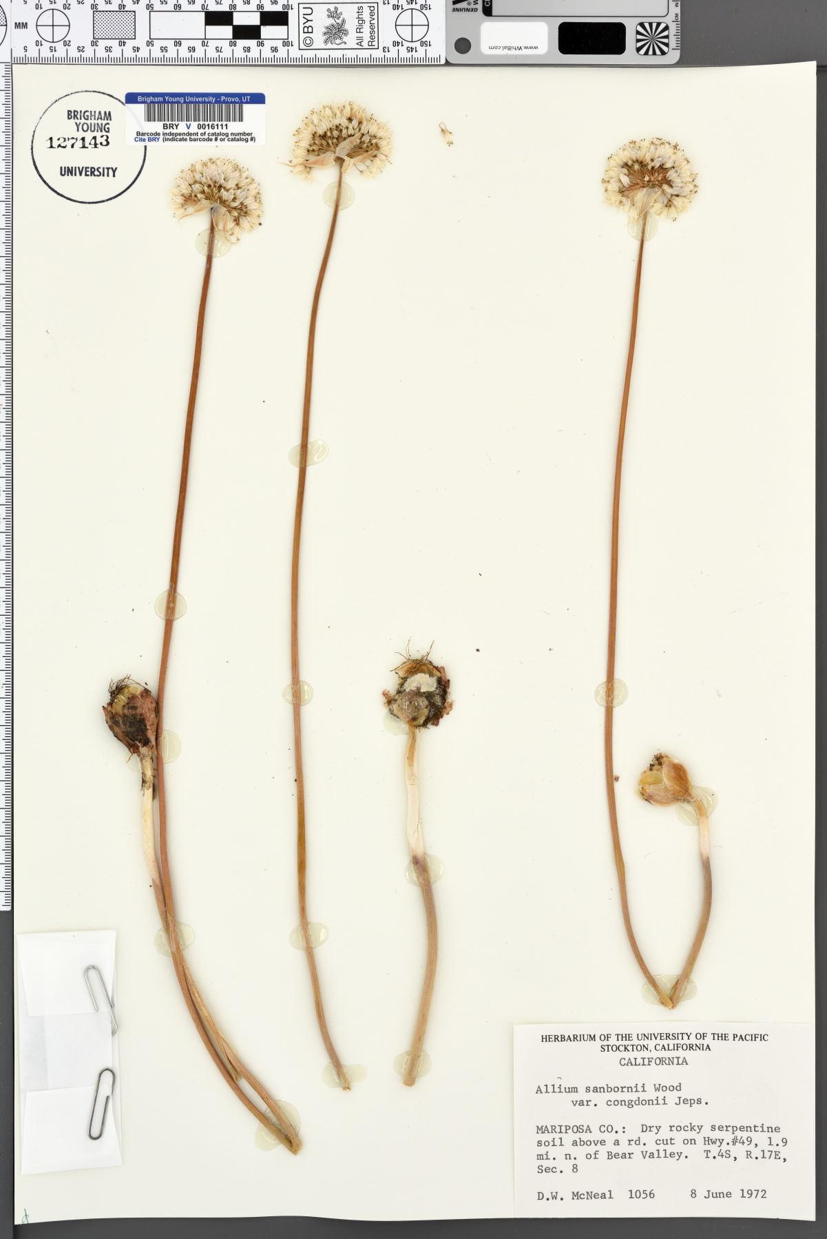 Allium sanbornii var. congdonii image