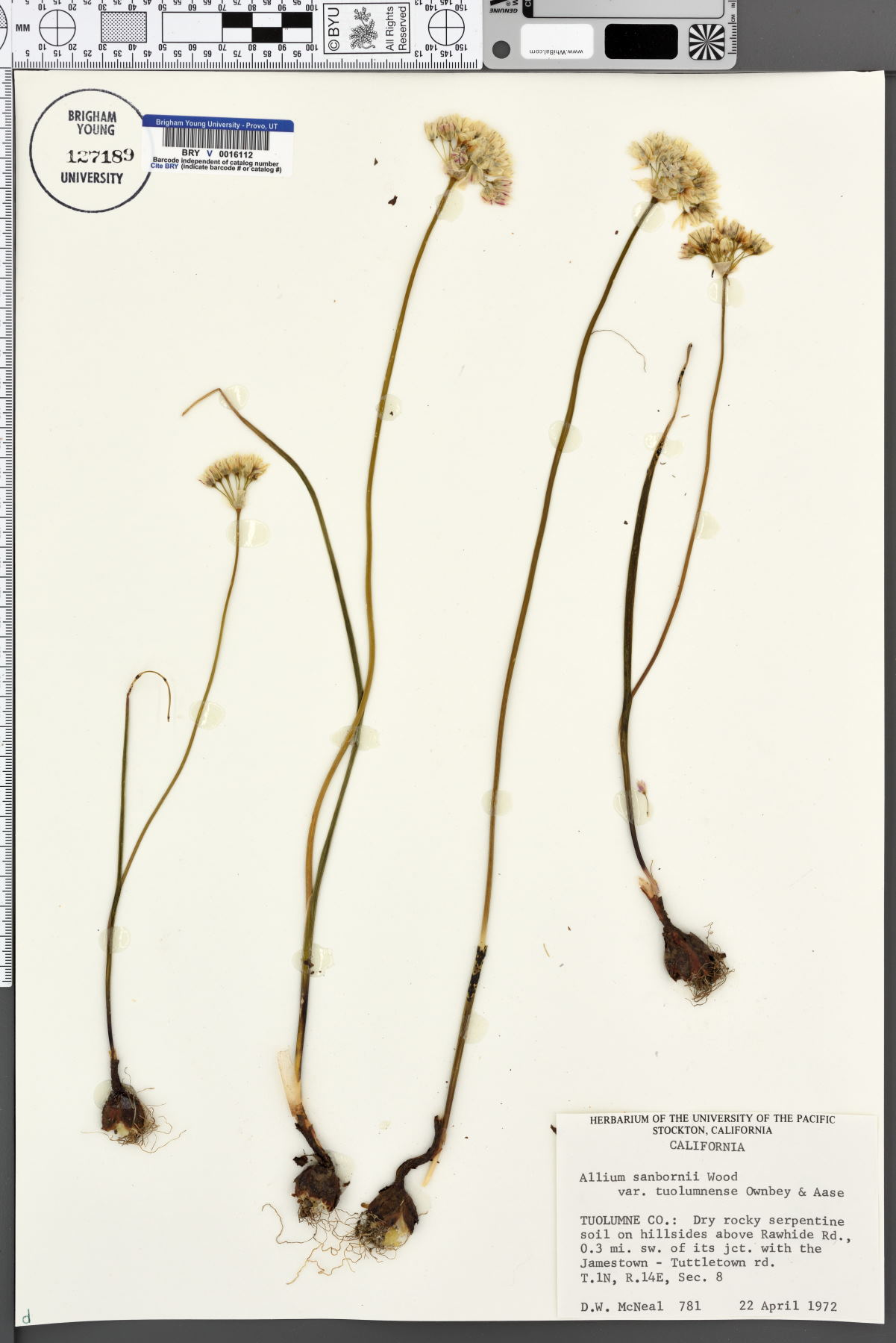 Allium sanbornii var. tuolumnense image