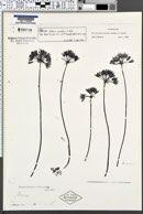 Allium serratum image
