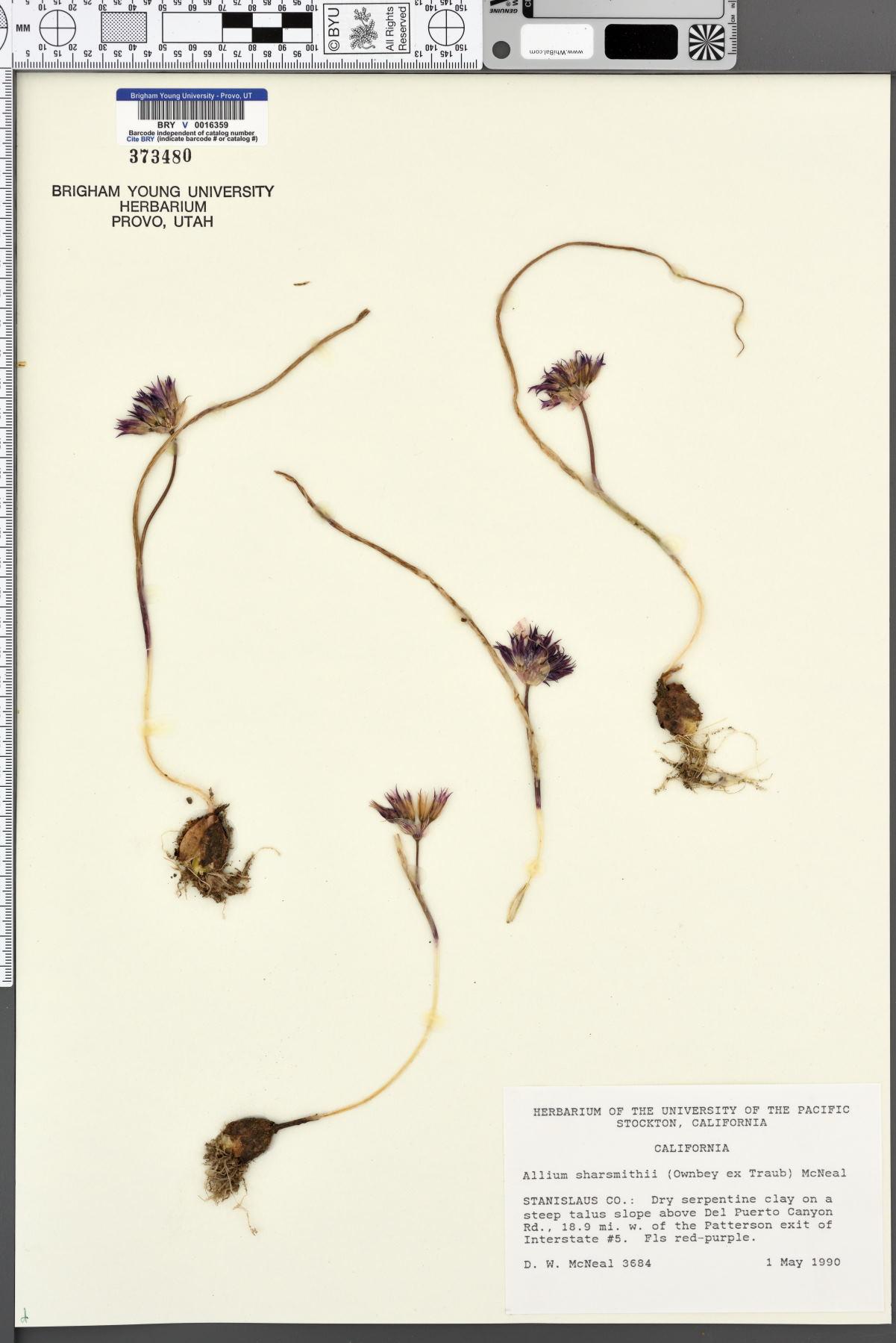 Allium sharsmithiae image