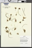 Allium simillimum image