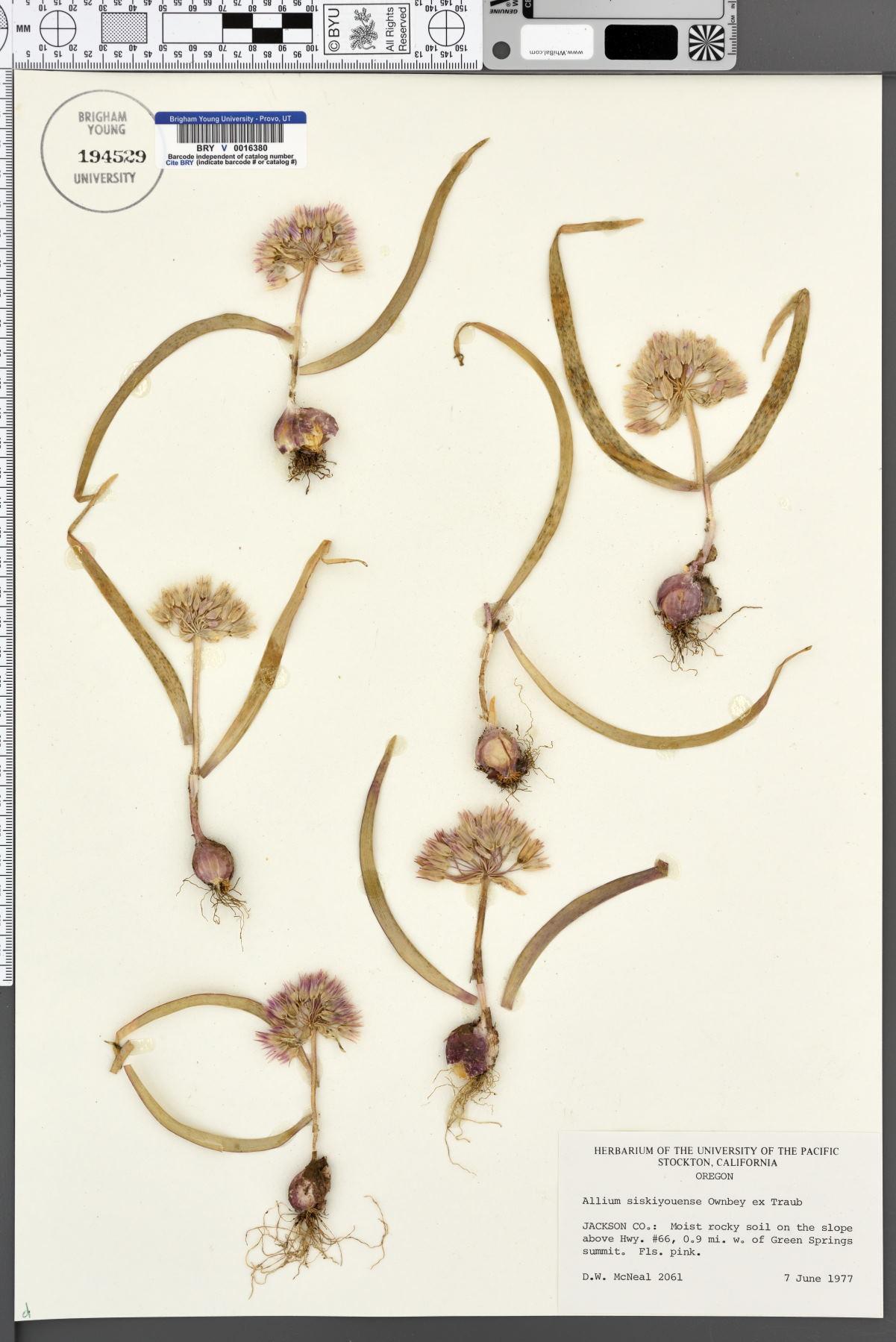 Allium siskiyouense image