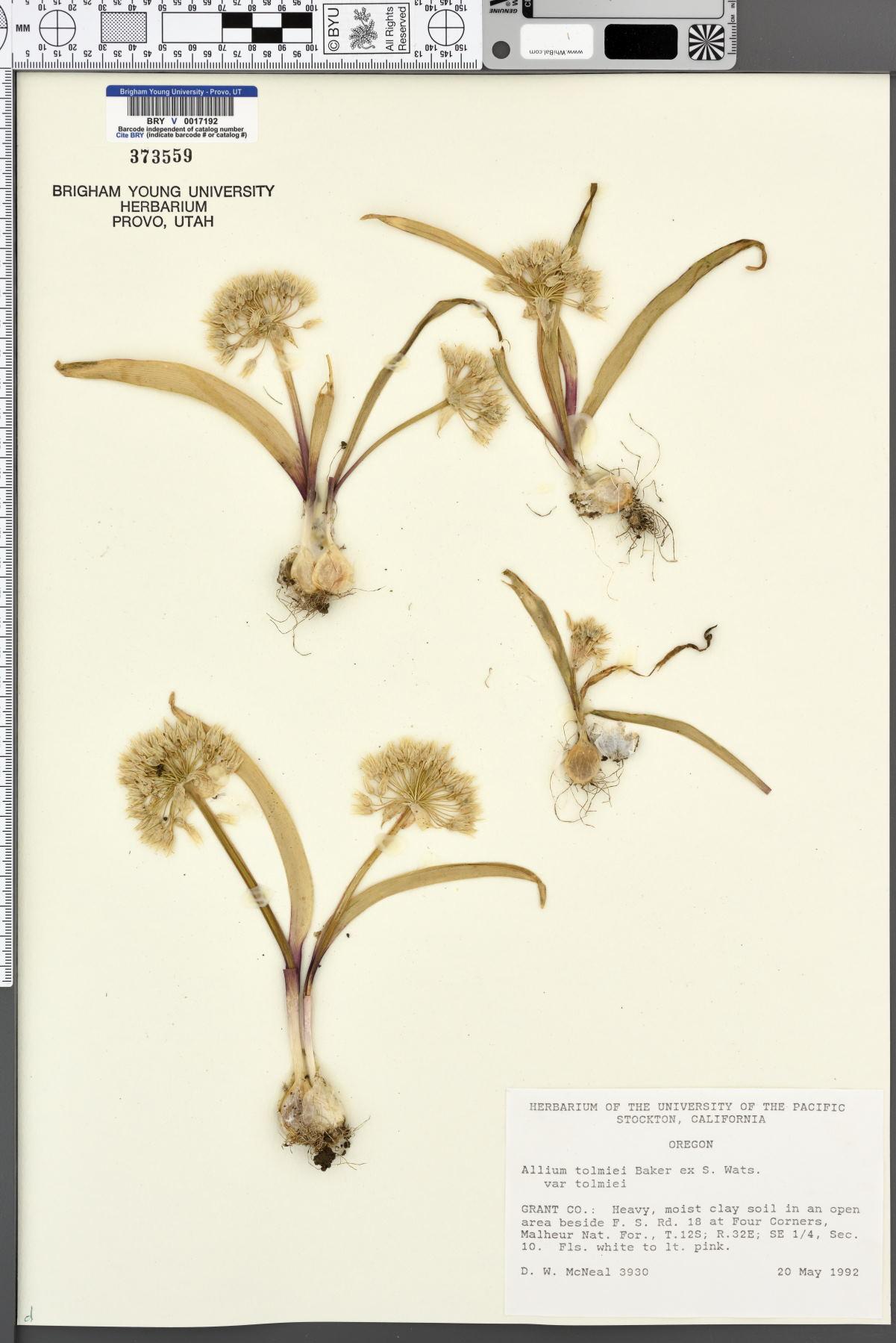 Allium tolmiei var. tolmiei image