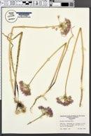 Allium unifolium image