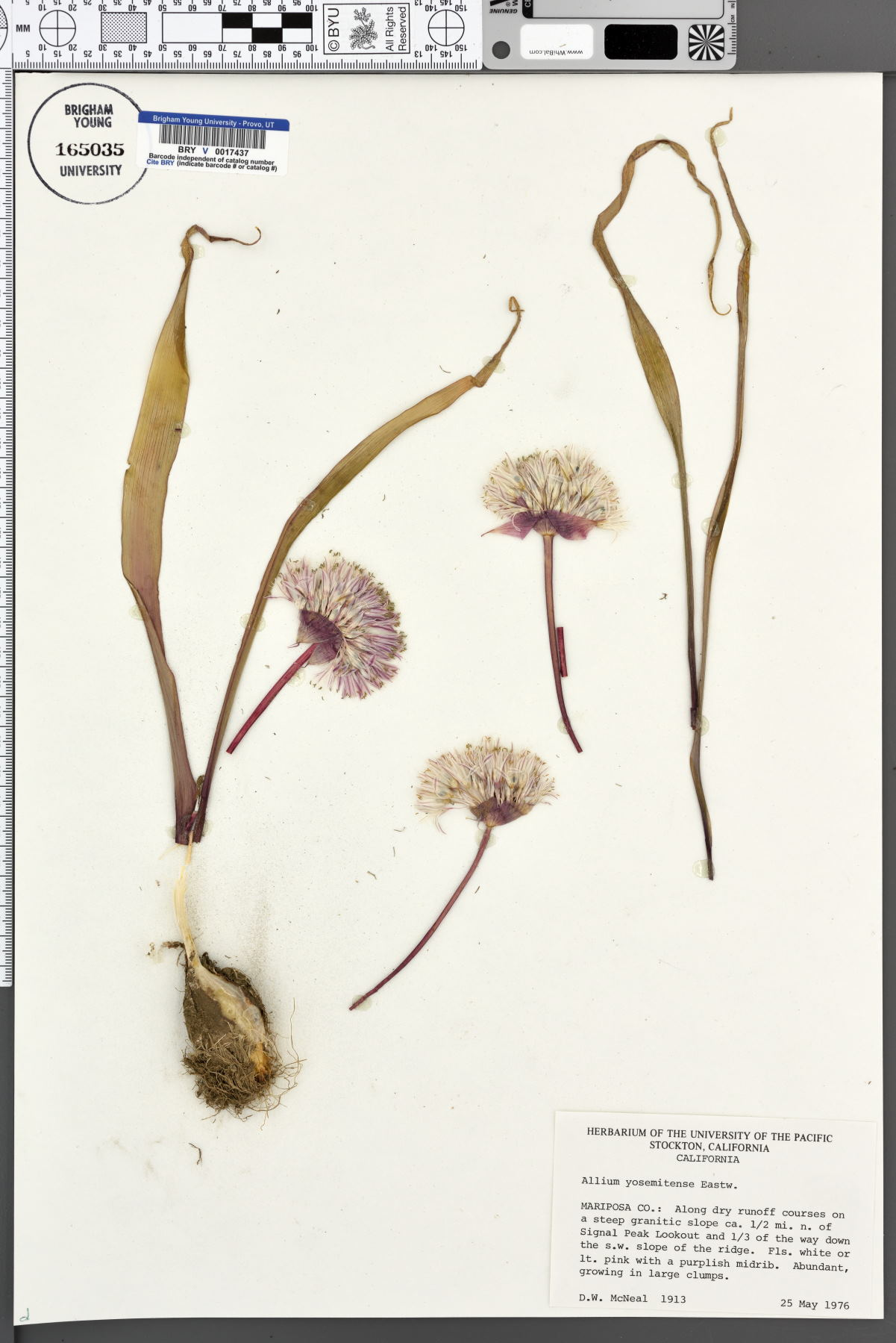 Allium yosemitense image