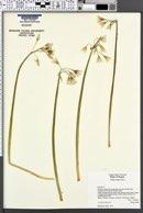 Allium triquetrum image