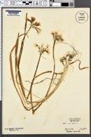 Image of Allium triquetrum