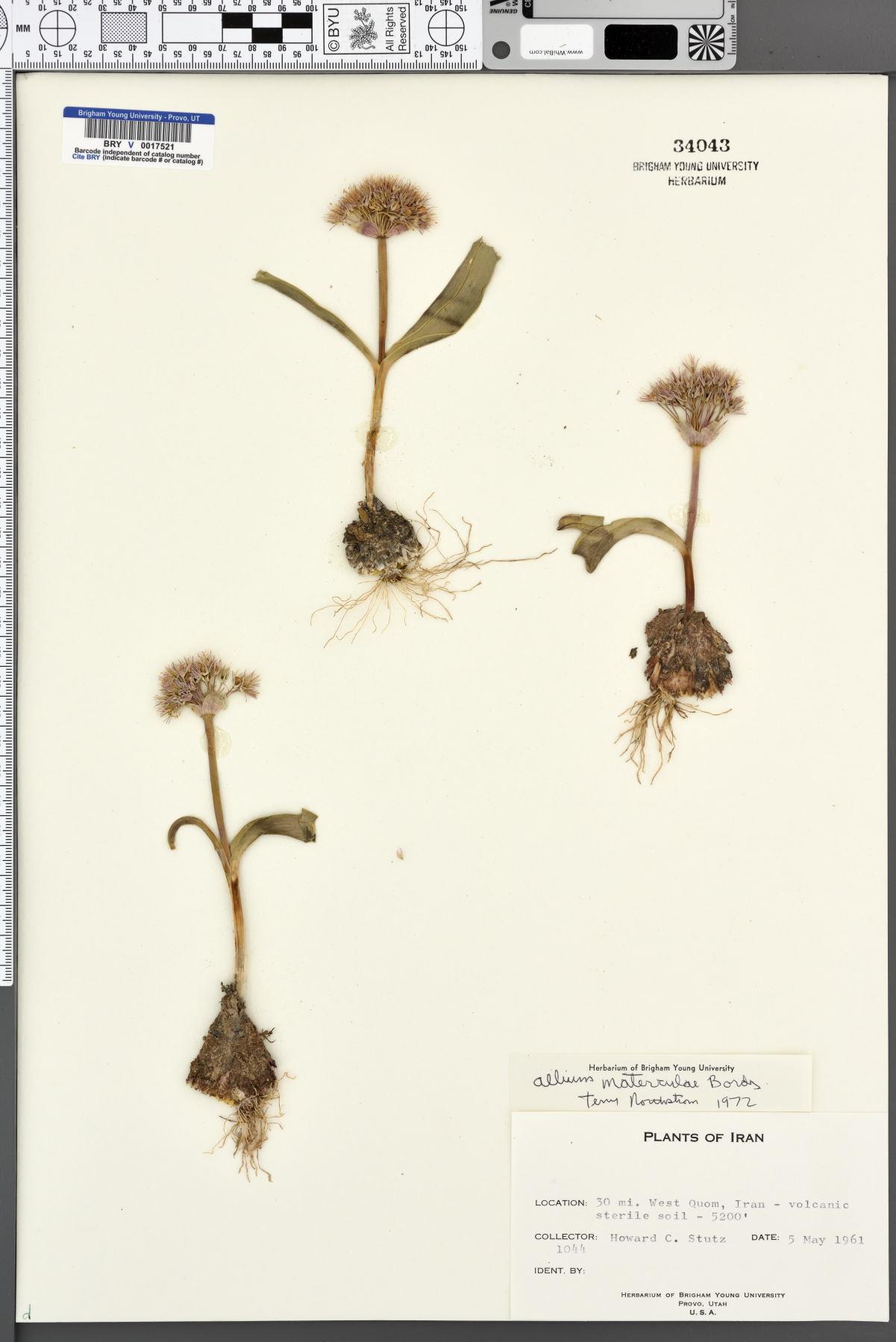 Allium materculae image
