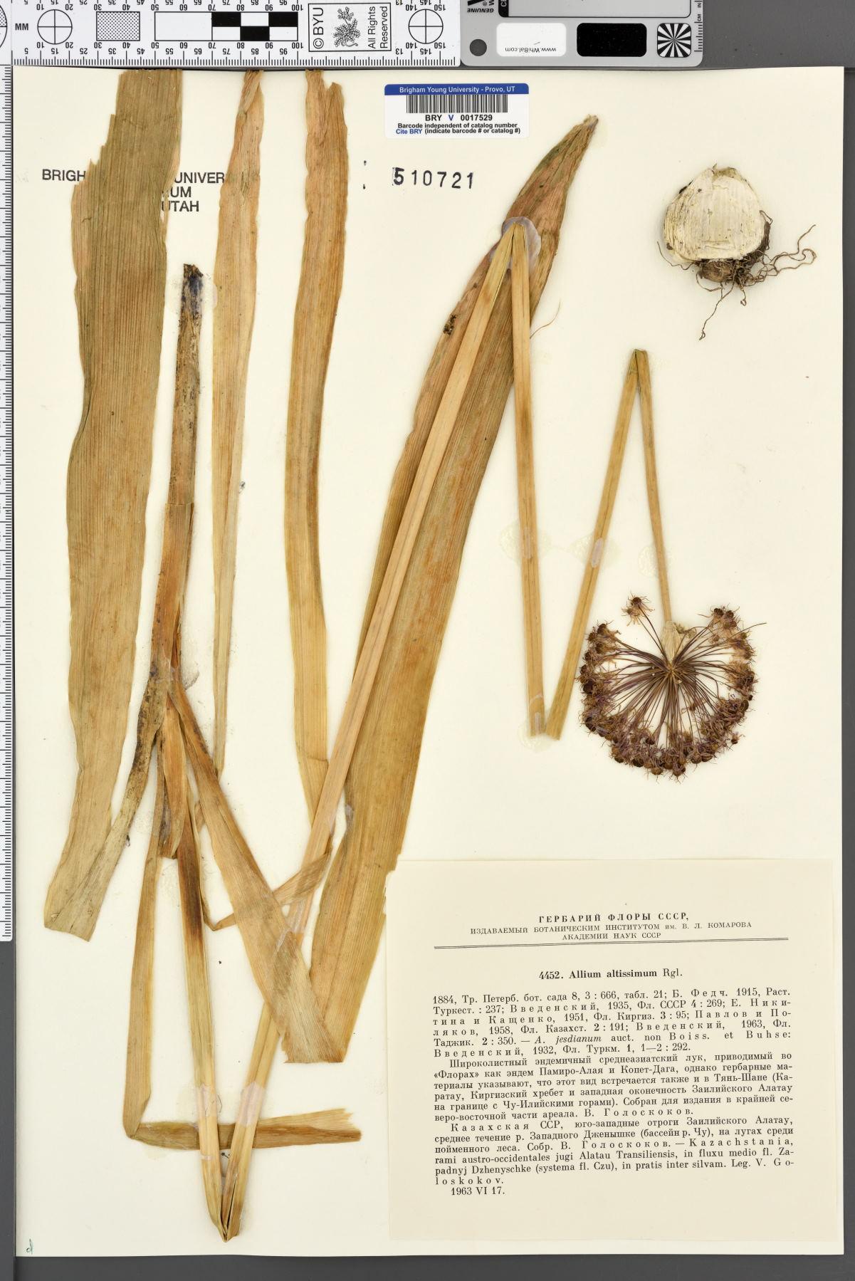 Allium altissimum image