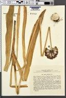 Image of Allium altissimum
