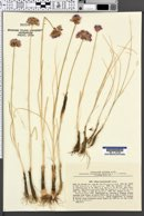 Image of Allium barszczewskii