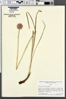 Allium strictum image
