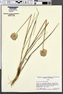 Image of Allium strictum