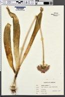 Allium nigrum image