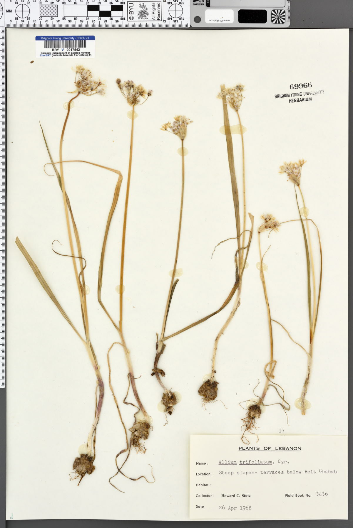 Allium trifoliatum image