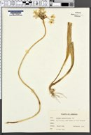Allium neopolitanum image