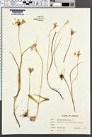 Allium subhirsutum image