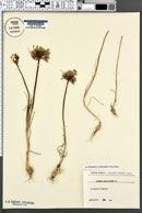Allium paniculatum image