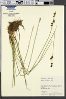 Juncus nevadensis image